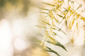 Winter Wattle dancing in the afternoon breeze, all aglow in the lowering sun.