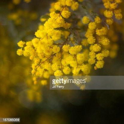 Wattle flowers : Stock Photo