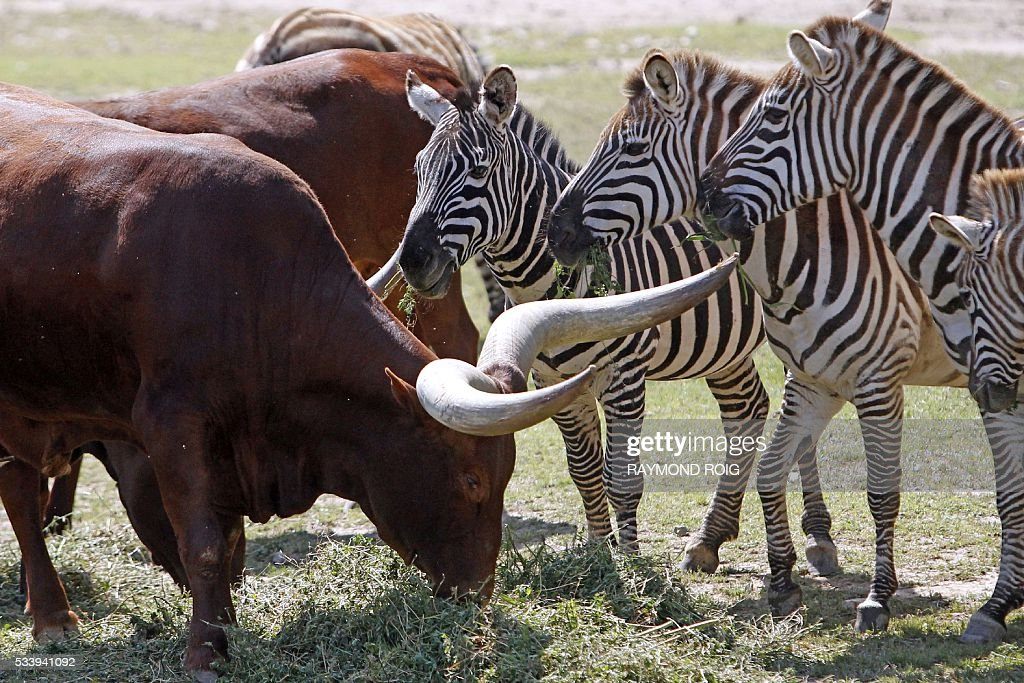 Watussi oxen and zebras graze in the grounds of the African Reserve (Réserve Africaine ) wildlife park in Sigean, southern France on May 24, 2016. / AFP / RAYMOND