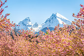 Scenic view of famous Watzmann mountain peak with cherry blossoms on a beautiful sunny day with blue sky in springtime, Berchtesgadener Land, Bavaria, Germany