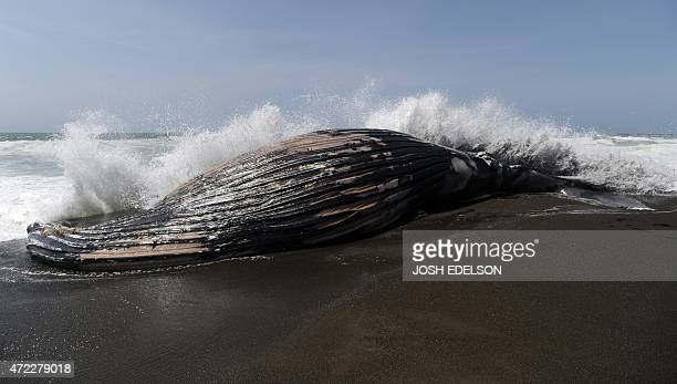 A wave splashes the back side of a beached humpback whale in Pacifica California on Tuesday May 05 2015 This is the second dead whale that has washed...