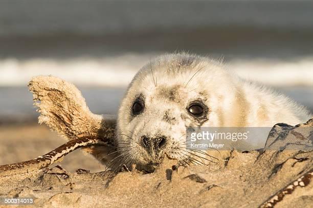waving seal
