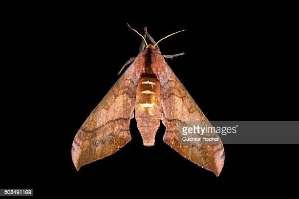 Wawy Polyptychus -Rufoclanis numosae-, Harenna Forest, Bale Mountains, Oromia region, Ethiopia