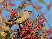 A Waxwing (Bombycilla garrulus) eating a berry in a tree in Aberdeen, Scotland