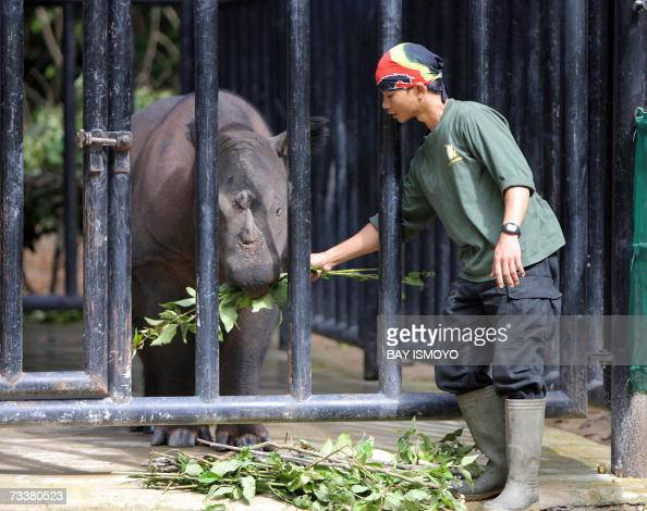 A worker at the rhino sanctuary at Way Kambas National Park in Way Kambas in Lampung 21 February 2007 feeds Rosa one of two females which will be...