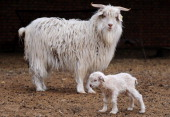 /ChinaFashionCashmere by Allison JacksonA cub and her mother cashmere goats raised for their wool at a farm in Ordos on April 20 2011 in Inner...