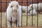 /ChinaFashionCashmere by Allison JacksonA young Cashmere goat raised among other for their wool at a farm in Ordos with head stuck outside a fence on...