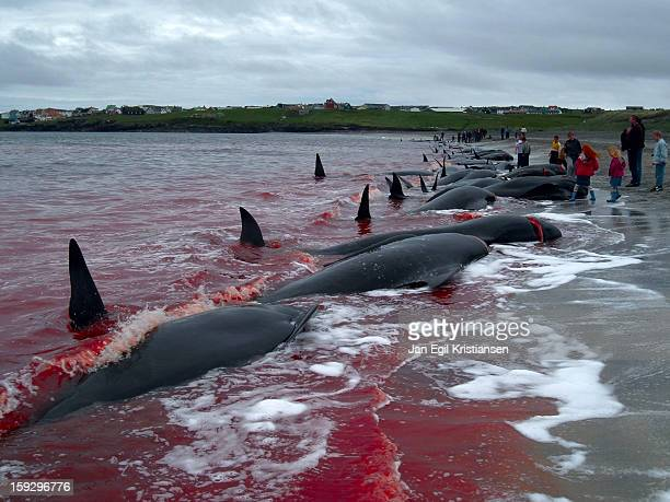 CONTENT] We still eat whale meat in the Faroe Islands