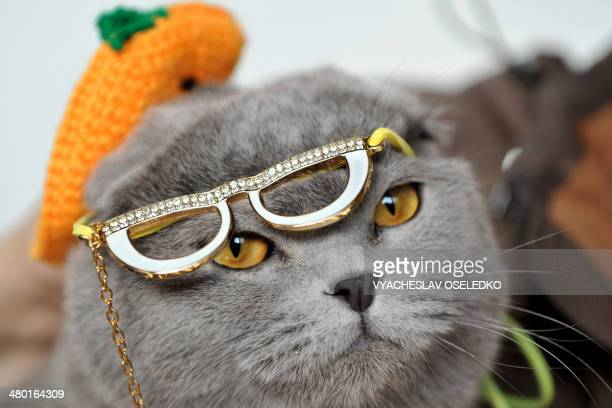 Wearing a hat and glasses a Scottish Fold cat looks on during a cat exhibition in Bishkek on March 23 2013 Cat lovers from Kyrgyzstan Kazakhstan and...