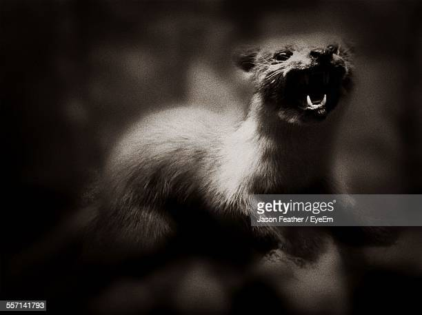 Weasel With Open Mouth
