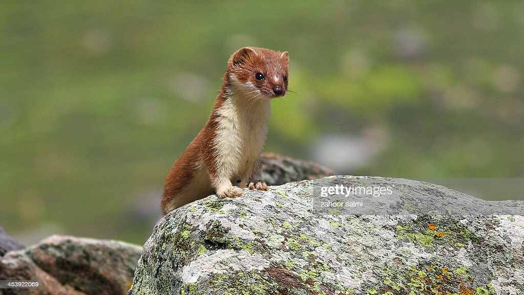 Weasels Pictures 11