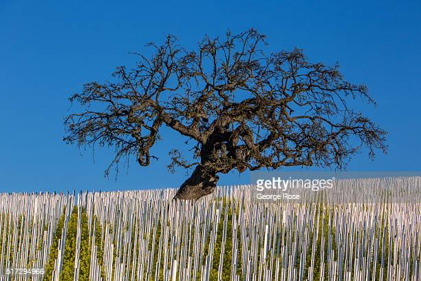 Weather resistant galvanized steel vineyard stakes glisten in the early morning light on February 24 near Los Olivos California Most of Southern and...