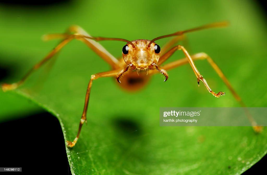 Weaver ant : Stock Photo