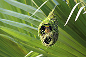 Weaver bird in nest