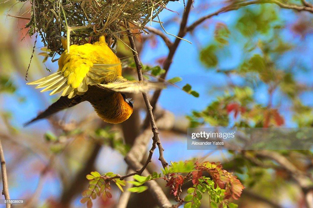 A Weaver Bird, in the Bright Bright World