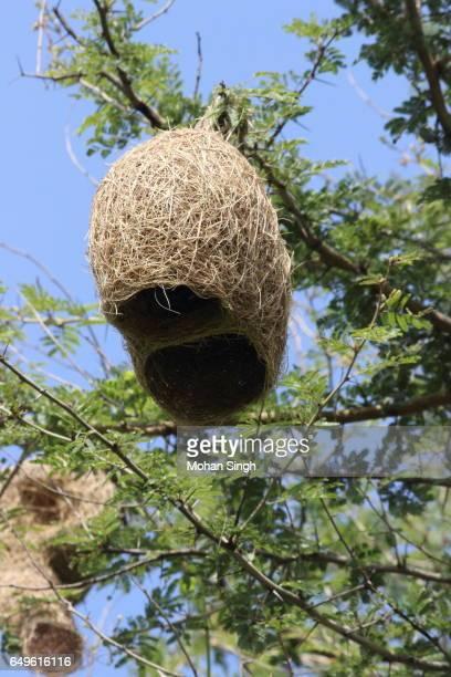 Weaver-bird nest at Asola Wildlife Sanctuary