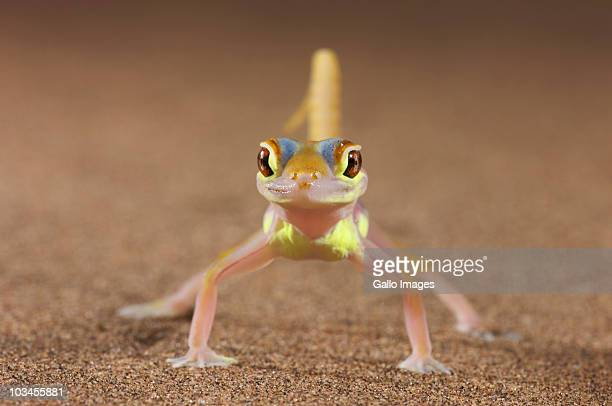 Web-Footed Gecko (Palmatogecko) walking on sand, Namib Desert, Namibia