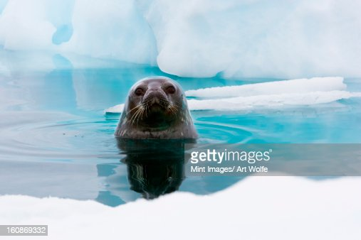 Weddell seal looking up out of the water, Antarctica