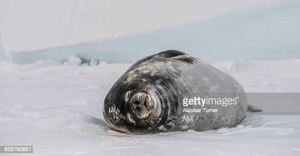 Weddell Seal (Leptonychotes weddellii) on the frozen surface of the Ross Sea.