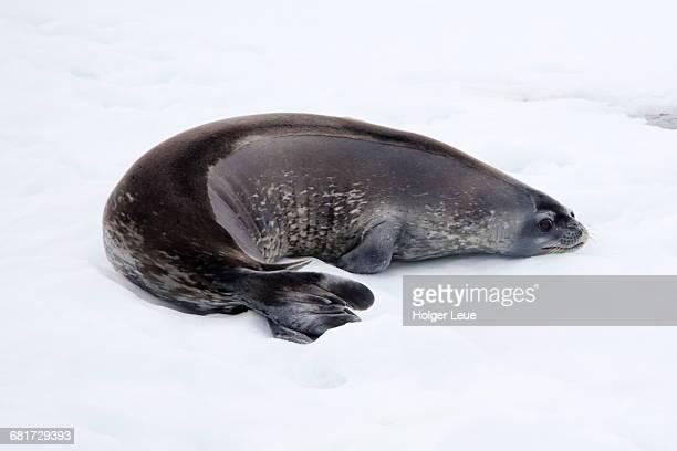 Weddell seal (Leptonychotes weddellii)
