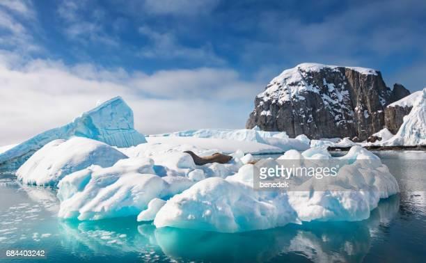 Weddell seals rest on an iceberg in Antarctica