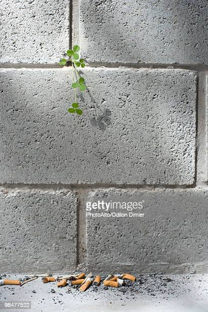 Weed growing out from crack in wall, discarded cigarette butts on ground
