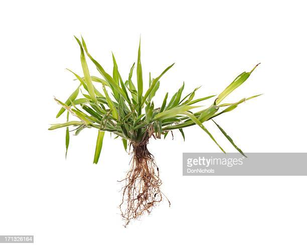 Weed with Roots Isolated