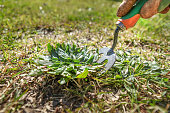 CLose up of removing a weed from the lawn. Grass maintenance and gardening chores and jobs.
