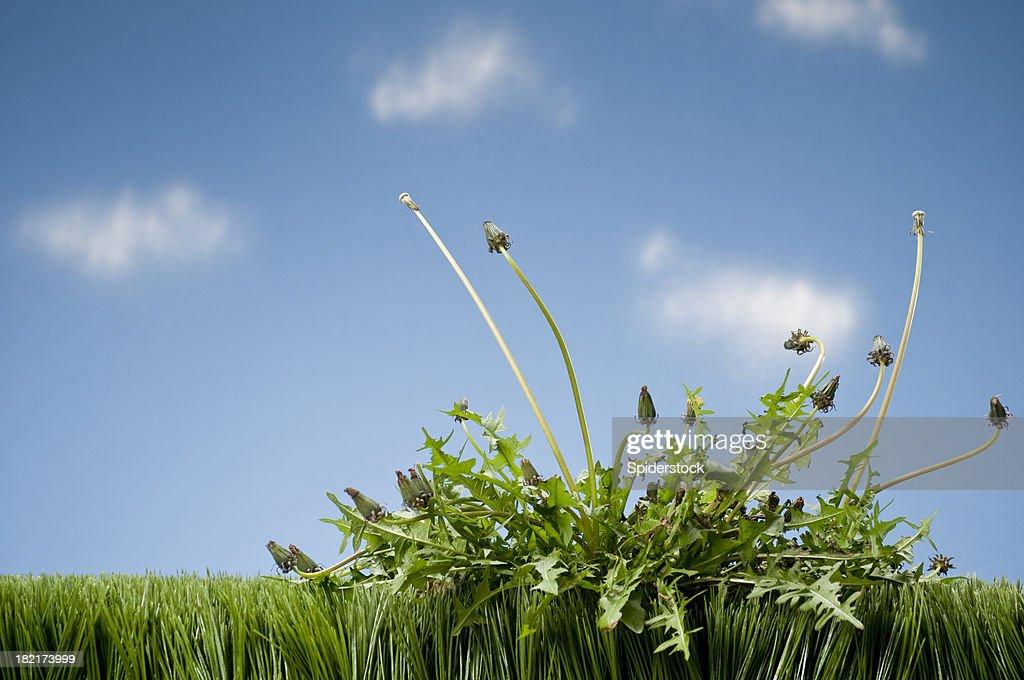Weeds Growing In Grass