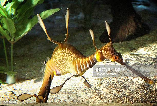 Weedy Sea Dragon Stock Photos and Pictures | Getty Images