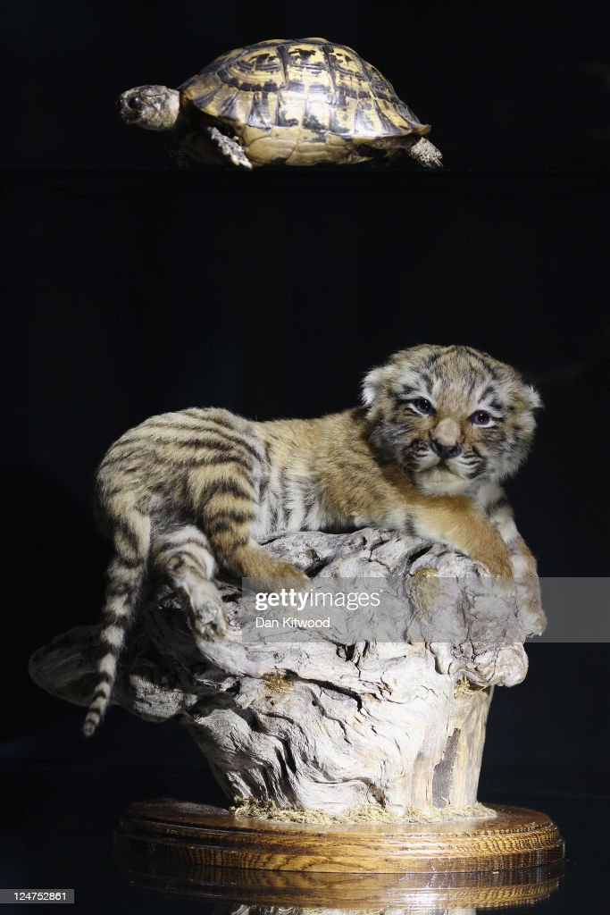 A 10 week old stuffed Tiger cub and a Tortoise are displayed in a cabinet at an 'Endangered Species' exhibition at London Zoo on September 12, 2011 in London, England. The exhibition is organised by 'Operation Charm', a Metropolitan Police partnership aimed at tackling the illegal trade in endangered wildlife and runs for one month at London Zoo. Items include a 10 week old stuffed Tiger cub, the tooth of a sperm whale, Ivory carvings, and a stuffed Tiger.