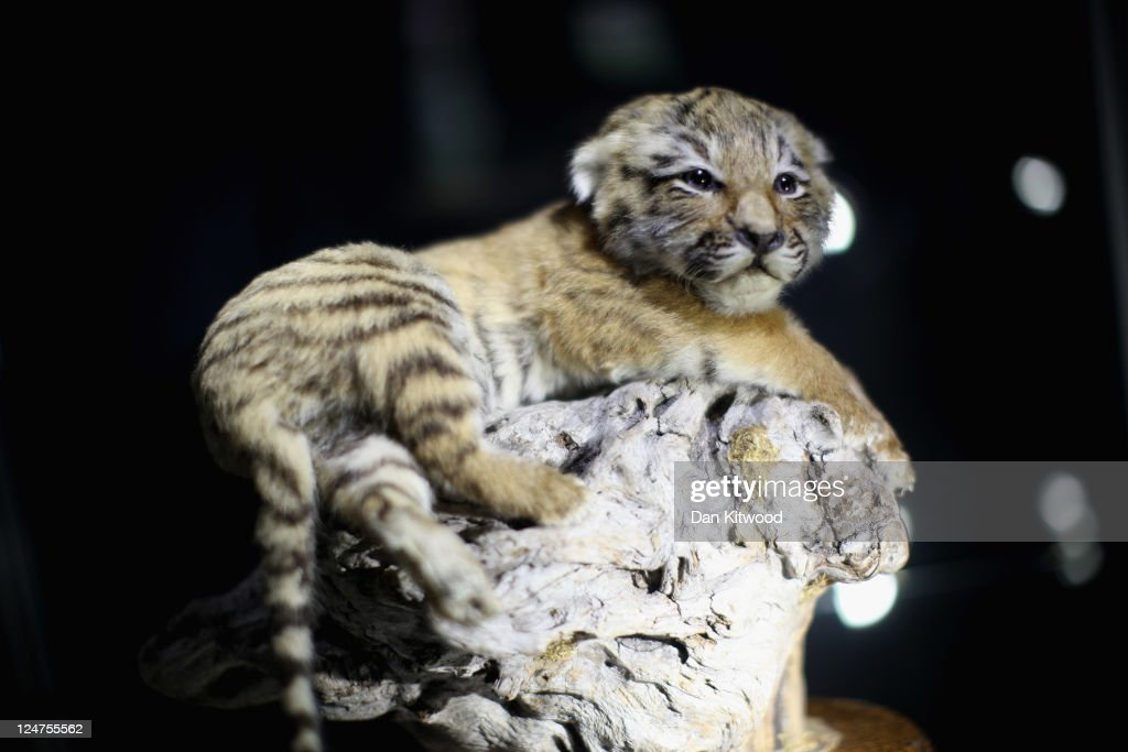 A 10 week old stuffed Tiger cub is displayed at an 'Endangered Species' exhibition at London Zoo on September 12, 2011 in London, England. The exhibition is organised by 'Operation Charm', a Metropolitan Police partnership aimed at tackling the illegal trade in endangered wildlife and runs for one month at London Zoo. Items include a 10 week old stuffed Tiger cub, the tooth of a sperm whale, Ivory carvings, and a stuffed Tiger.