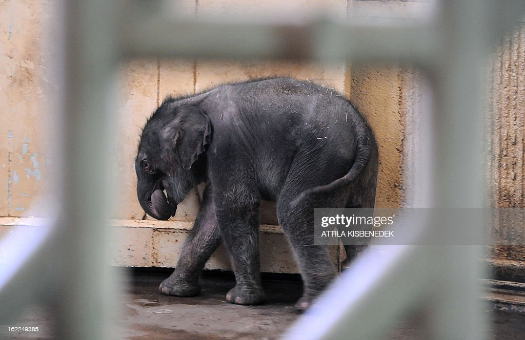 A week-old baby elephant walks around the 'Elephant House' at Budapest Zoo and Botanic Garden on February 21, 2013 during its first presentation for the press. The newborn will be revealed to the public on Monday.