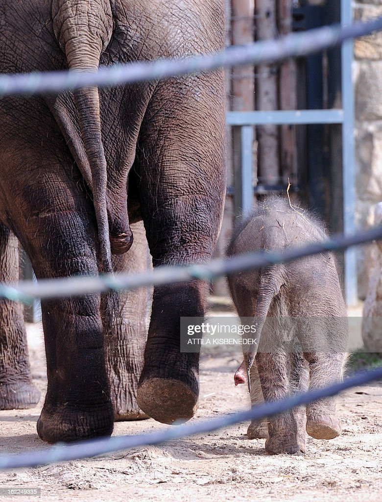 A week-old baby elephant walks with its French mother Angele at Budapest Zoo and Botanic Garden on February 21, 2013 during its first presentation for the press. The newborn will be revealed to the public on Monday.