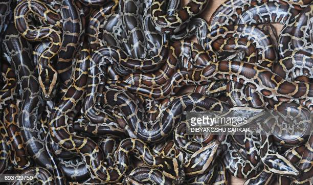 Weekold Burmese pythons are seen in an enclosure at the Alipore Zoological garden in Kolkata on June 8 2017 This is the first time reticulated and...