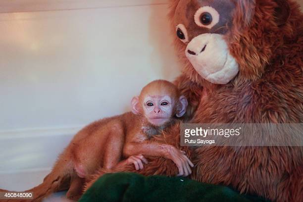A weekold newborn baby Langur hugs a surrogate monkey doll inside the incubator at Bali Zoo on June 19 2014 in Gianyar Bali Indonesia Javan Langurs...
