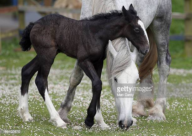 A weekold shire horse foal rest her head on her mother Orla at Cornwall's Crealy Adventure Park on May 24 2013 near Wadebridge England Once a common...