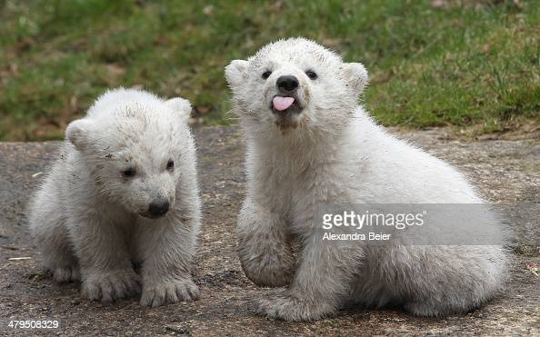 14 weekold twin polar bear cubs play during their first presentation to the media in Hellabrunn zoo on March 19 2014 in Munich Germany The male and...