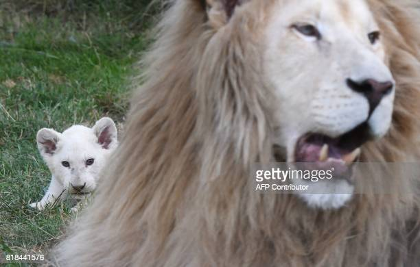 11 weeks old White Lion cub looks behind its father Aga in their enclosure at a private zoo in Dvorec village Czech Republic on July 18 2017 The...
