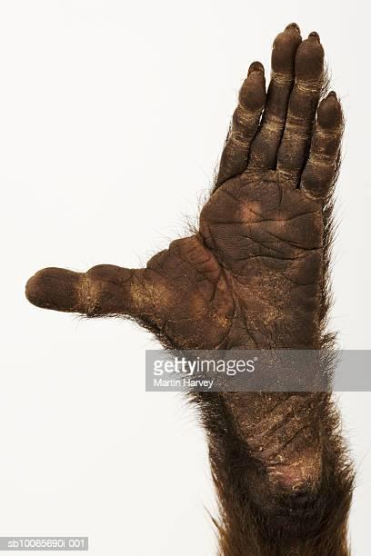 Weeper Capuchin, close up of hand, studio shot