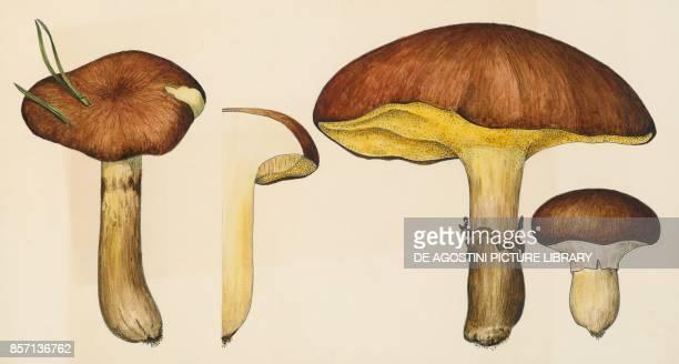 Weeping bolete or granulated bolete slippery jack or sticky bun Boletaceae drawing