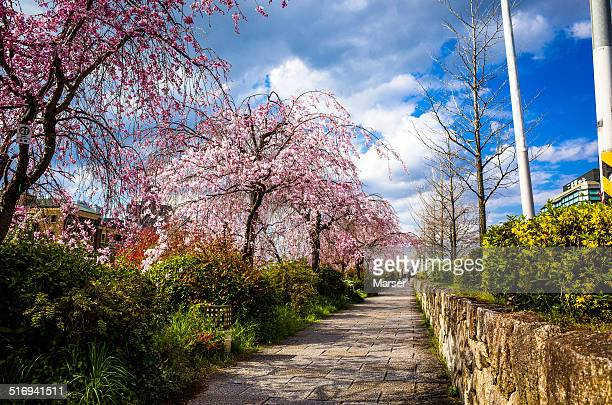 weeping cherry blossoms in bloom