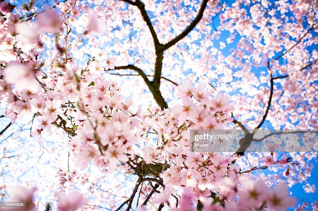 weeping cherry(sakura) blossoms : Stock Photo