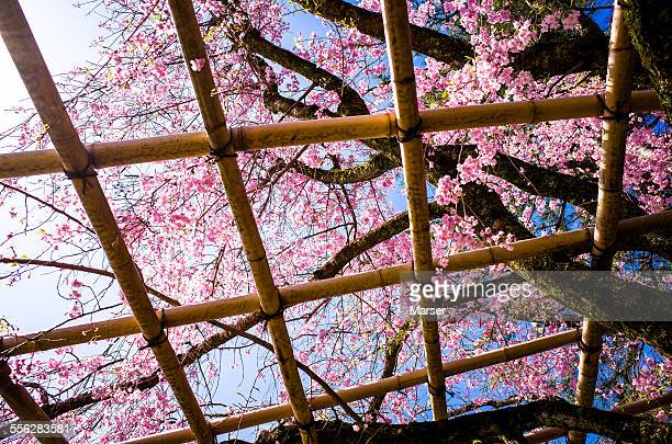 Weeping cherry blossoms through the bamboo grids