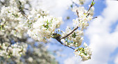 Bright white flowers of a cherry tree on the background of pure blue spring sky. In anticipation of the Easter holiday. joyful spring days
