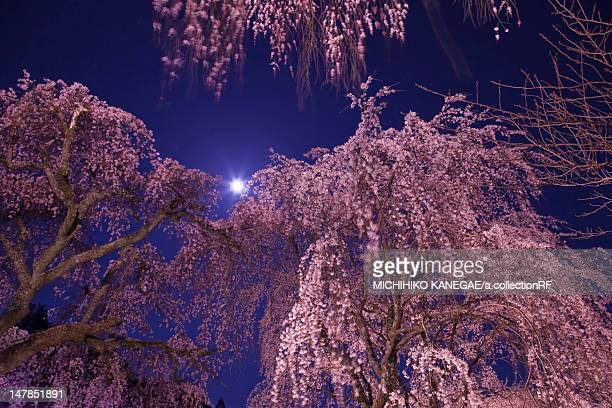 Weeping Cherry Tree in Full Moon