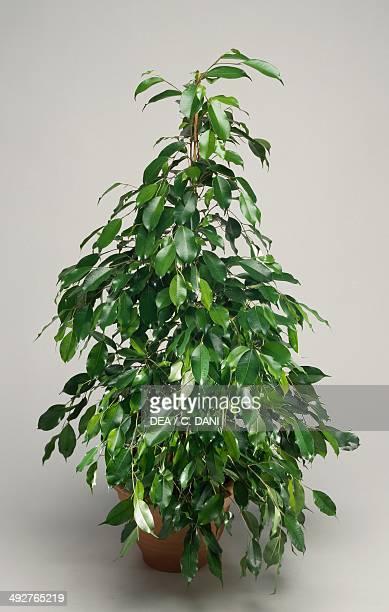 Weeping fig Benjamin's fig or Ficus tree Moraceae