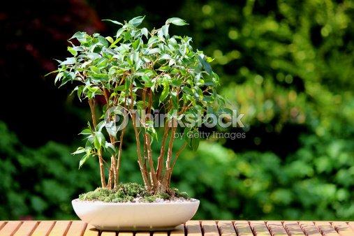 Ficus benjamina rbol bons i de grupo cuba planta foto de - Ficus benjamina precio ...