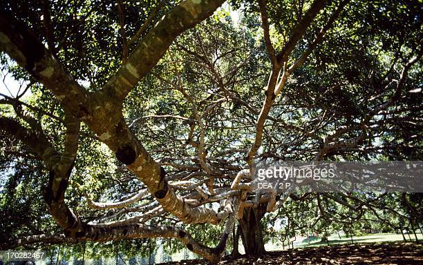 Weeping Fig or Benjamin Fig Moraceae Peradeniya Botanicial Garden Kandy Sri Lanka