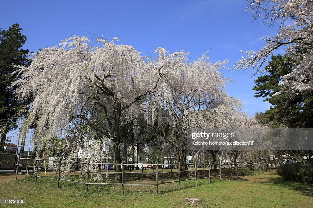 Weeping Japanese Cherry Blossom Tree